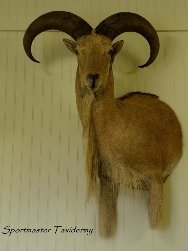Exotics such as Fallow Deer, Axis Deer, Aoudad, Blackbuck Antelope ... Mule Deer European Mount