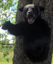 Black Bear Taxidermy Mounts Chattanooga Cleveland TN North Georgia