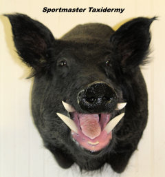 Wild Boar Hog Taxidermy Chattanooga Cleveland TN North Georgia