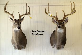 Whitetail Deer Taxidermy Chattanooga Cleveland TN North GA