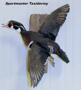 Waterfowl Wood Duck Taxidermy Chattanooga Cleveland TN North Georgia
