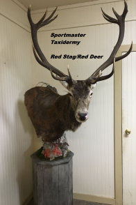 Red Stag Elk Taxidermy Mount Chattanooga Cleveland TN North Georgia