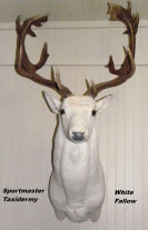 Fallow Deer Taxidermy Chattanooga Cleveland TN & North GA