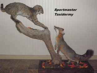 Bobcat Fox Taxidermy Chattanooga Cleveland TN North Georgia